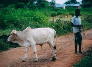 internet photo: A boy taking a cow to slaughter in rural Uganda