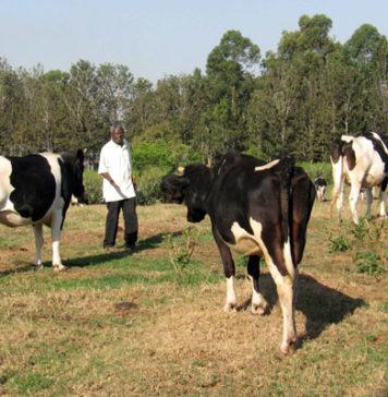 A farmer inspects his cattle at a farm.